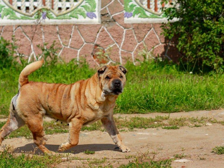 Afbeelding van een Shar Pei, een Chinees hondenras. Deze hond heeft een volledig blauwe tong.