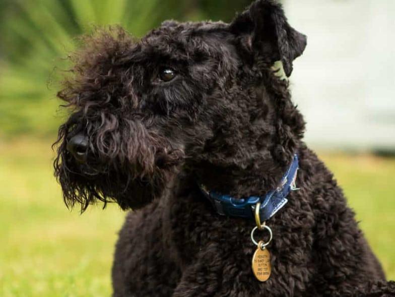 De Kerry Blue Terrier verharen niet, en hebben alleen met enige regelmaat een borstel nodig.