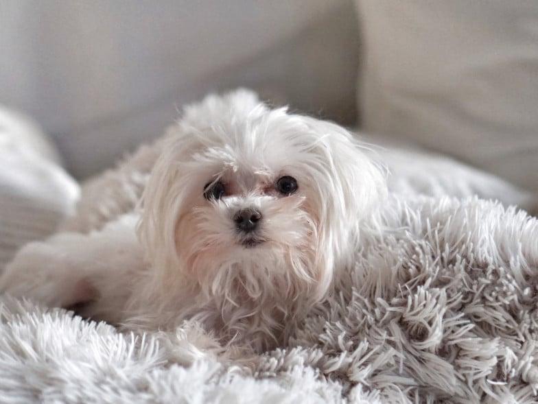 De Maltezer laat wel haren los, maar zolang je deze hond voldoende borstelt, heb je weinig last van haren of huidschilfers.