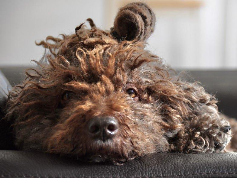 De Spaanse waterhond heeft lange haren, en laat weinig haar los.