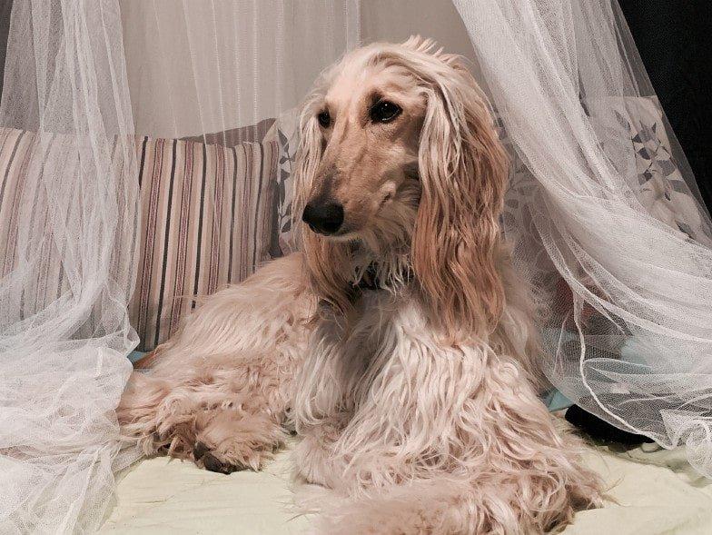 Een Afghaanse windhond heeft lang, zijdezacht haar. Met genoeg verzorging is deze ideaal voor mensen met een allergie.