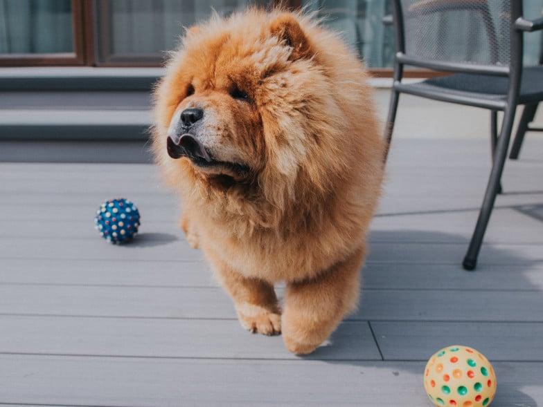 De Chow chow is een Chinees hondenras, met ook een volledig blauwe tong.