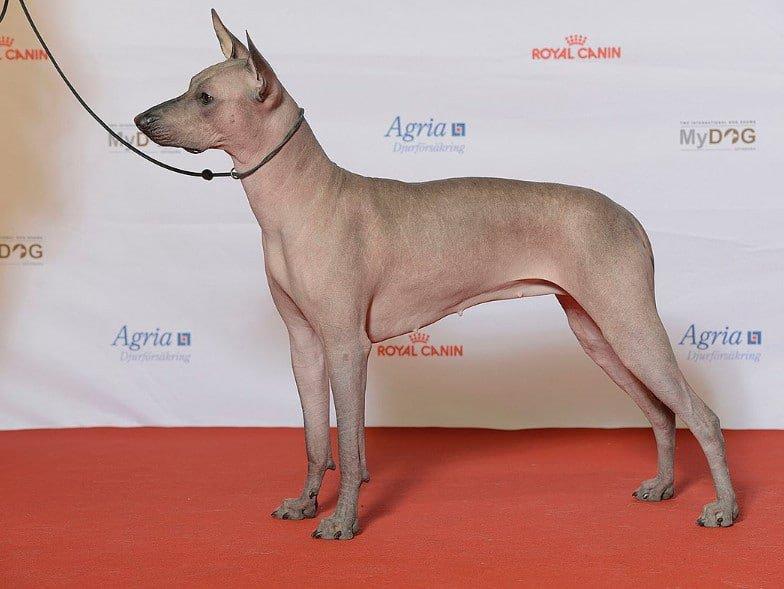 De Xoloitzcuintli is een zeldzame hond, die ook wel Xolo genoemd wordt. Een volledig naakte, en dus hypoallergene, hond.