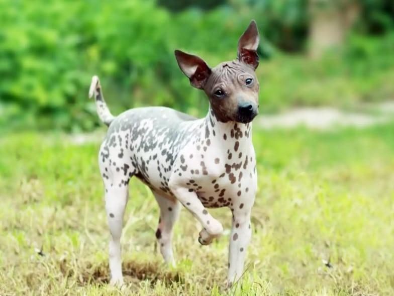 De Amerikaanse naakthond, heeft helemaal geen haar, dus een ideale hypoallergene hond.