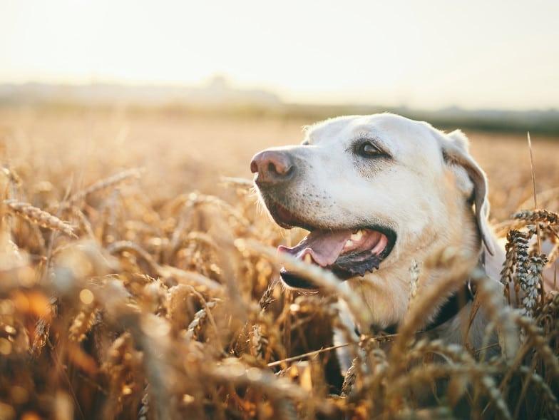 Foto van een Labrador Retriever, in een veld.
