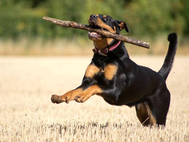 De Rottweiler staat bekend om zijn woeste uiterlijk, en in een zeldzaam geval een blauwe tong.