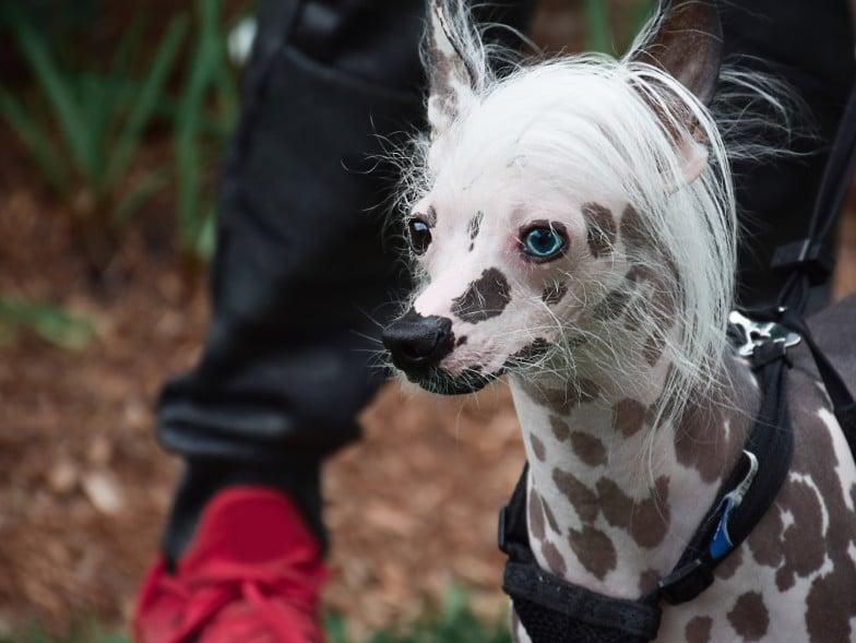 De Chinese naakthond is kaal, met doorgaans een pluk haar op de kop. Ze hebben geen last van haaruitval.