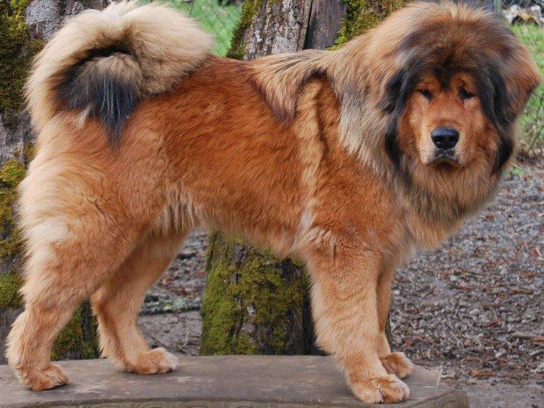 De Tibetaanse mastiff hebben doorgaans een roze tong, maar soms hebben ze ook blauwe of donkere plekken op de tong.