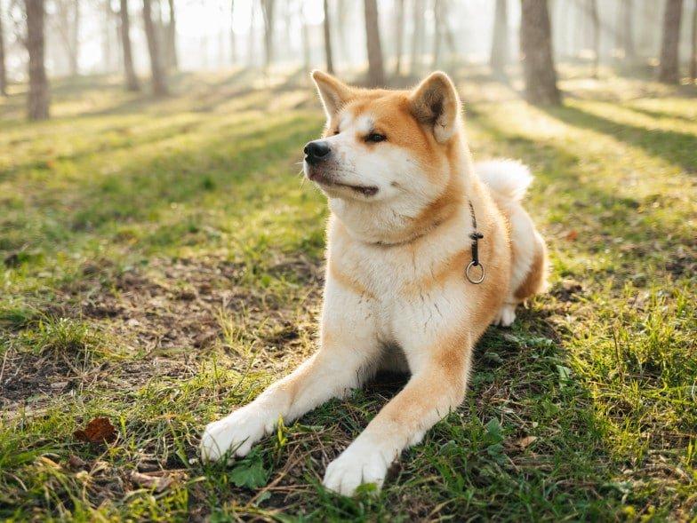 Akita Inu ligt in het bos te rusten.