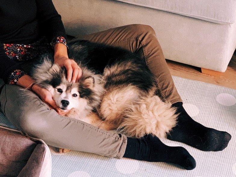 Alaskan Klee Kai aan het knuffelen met zijn baas, in de woonkamer.