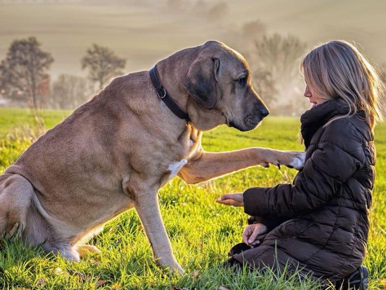 Broholmer hond met zijn baas in het gras.