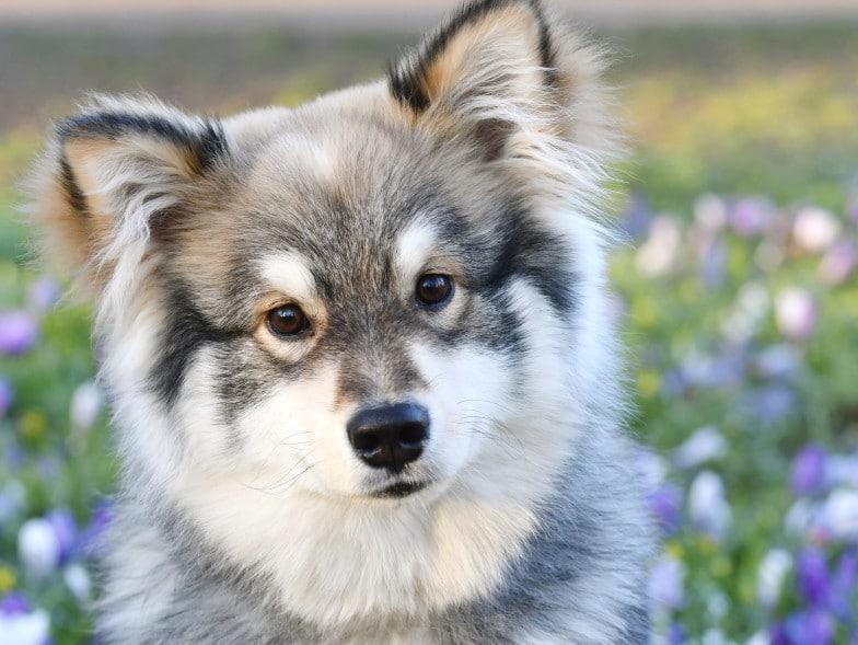 Finse Lappenhond pup