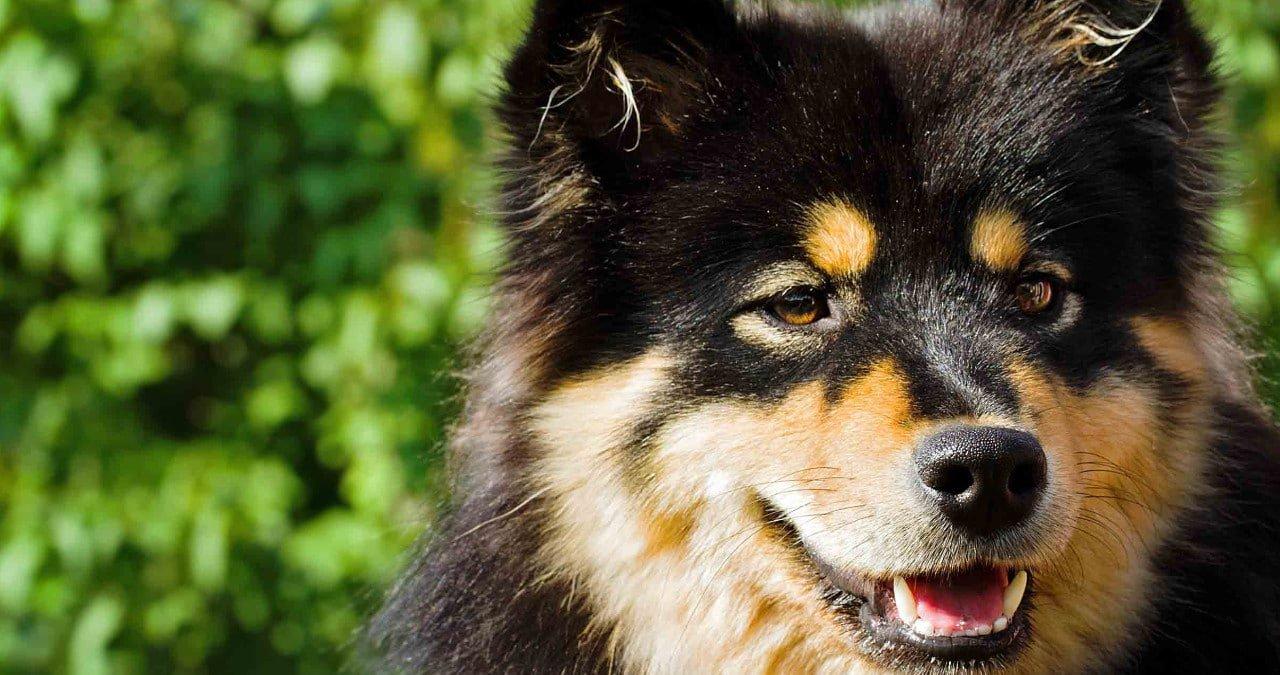 Hondenras Finse Lappenhond