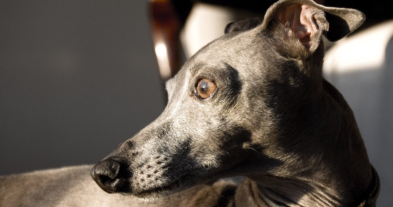 Hondenras Italiaanse windhond