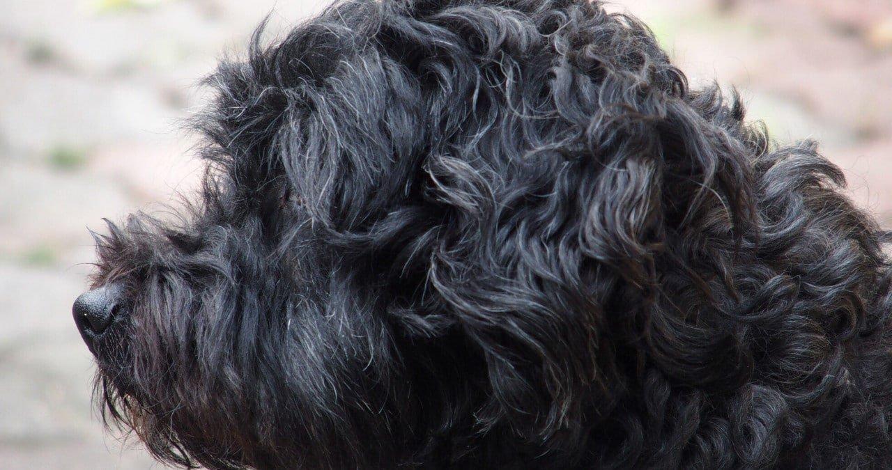Hondenras Tibetaanse Terrier