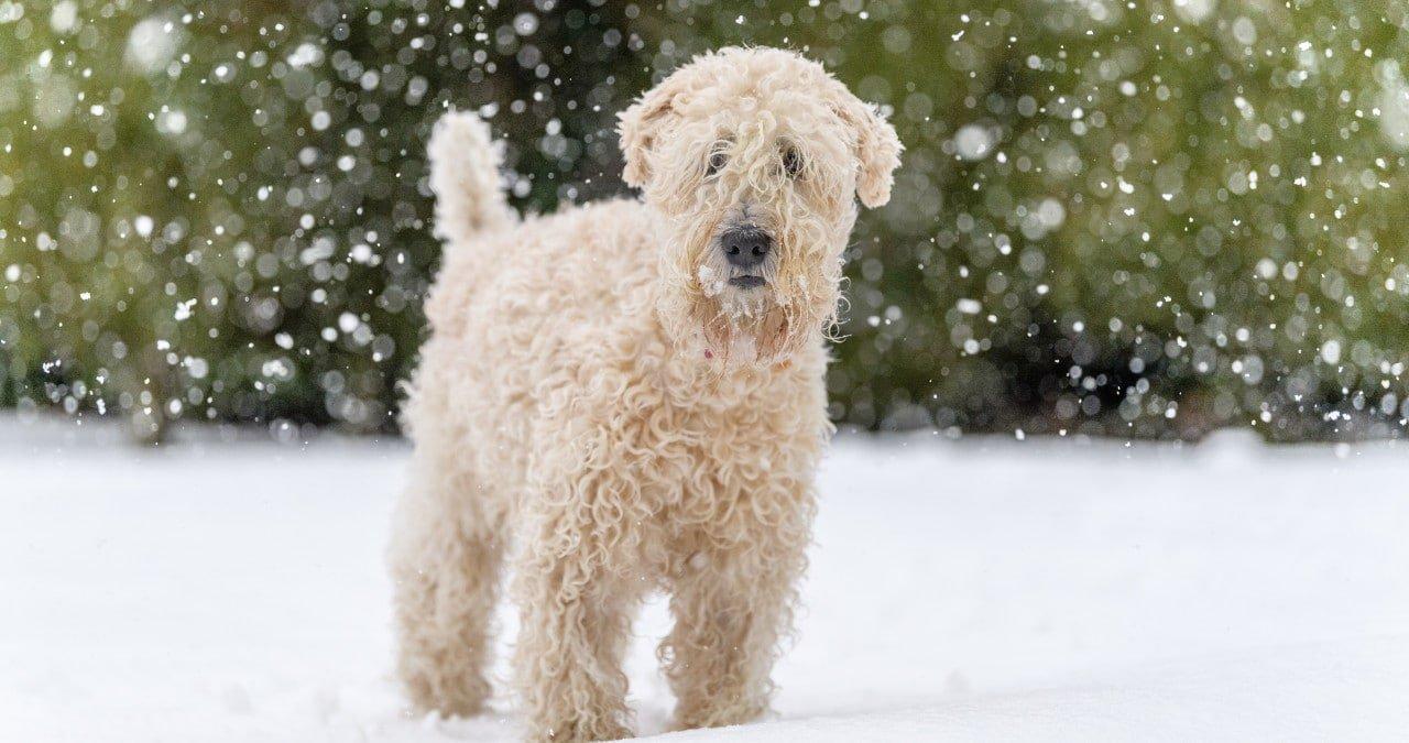 Hondenras Wheaten terrier