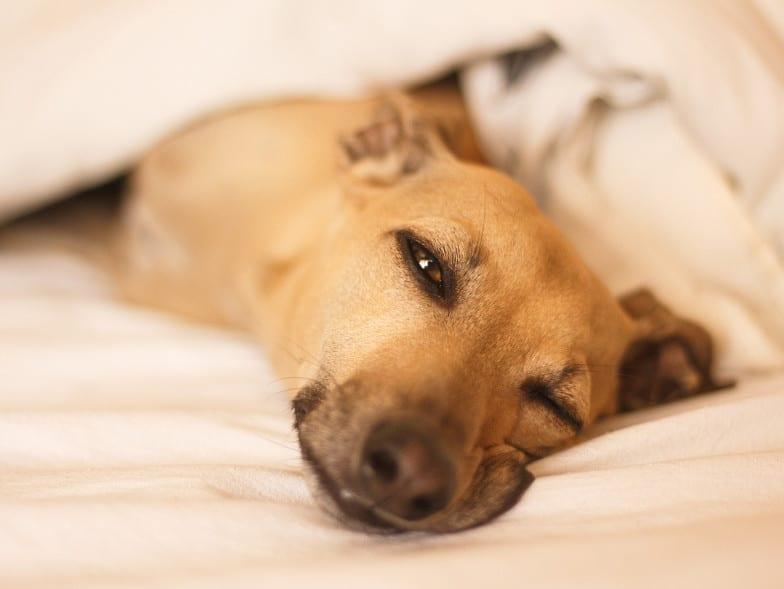 Italiaanse windhond aan het rusten in bed, lekker warm