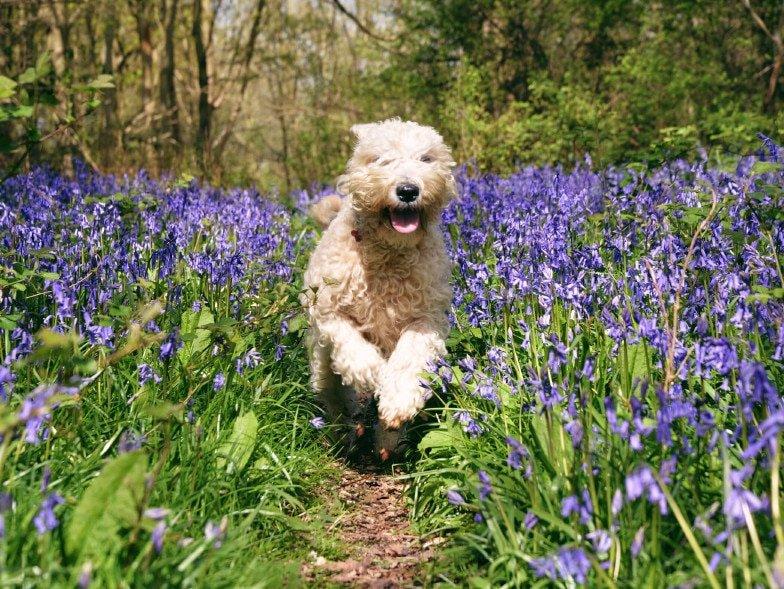 Wheaten Terriër die rent door het bos, langs prachtige paars blauwe bloemen.