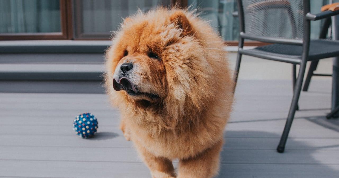 chowchow hond met blauwe tong