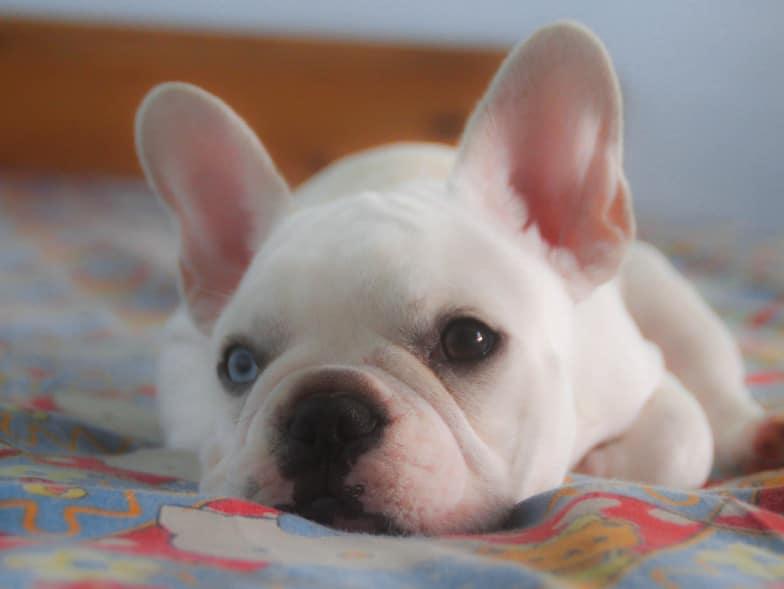 Franse bulldog met een witte vacht